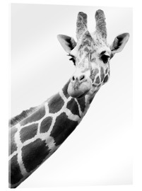 Acrylglas print  Giraffe in black and white - Darren Greenwood