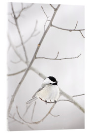 Acrylglas print  Bird on a branch - Richard Wear