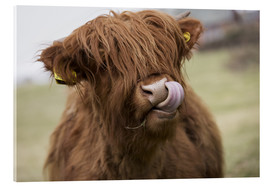 Acrylglas print  Highland Cattle Licking It's Lips - John Short