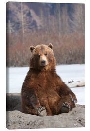 Canvas print  sitting Brown Bear - Doug Lindstrand