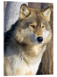 Acrylglas print  Timber Wolf - John Pitcher