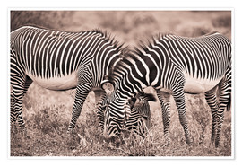 Premium poster  Two Zebras Grazing Together - David DuChemin