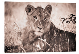 Acrylglas print  Lioness between grasses - David DuChemin