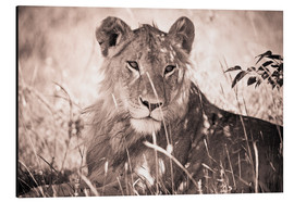 Aluminium print  Lioness between grasses - David DuChemin
