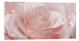 Acrylglas print  Rose with drops - Atteloi