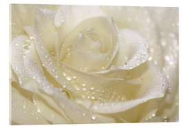 Acrylglas print  White rose with drops - Atteloi