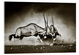Acrylglas print  Gemsbok antelope fighting in dusty sandy desert - Johan Swanepoel