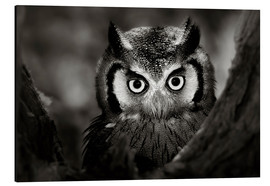 Aluminium print  White-faced Owl perched in a tree - Johan Swanepoel