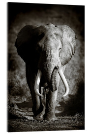 Acrylglas print  Elephant with huge tusks approaching - Johan Swanepoel