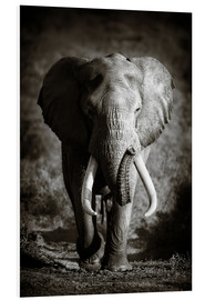 PVC print  Elephant with huge tusks approaching - Johan Swanepoel