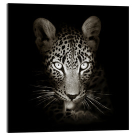 Acrylglas print  Leopard portrait licking it's paw - Johan Swanepoel