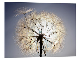 Acrylglas print  Dandelion is ready to fly