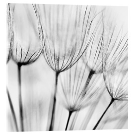 Acrylglas print  Black and white dandelion