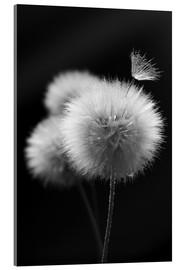 Acrylglas print  Fluffy dandelions close-up