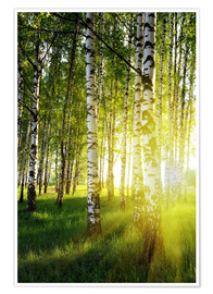 Premium poster Birches flooded with light