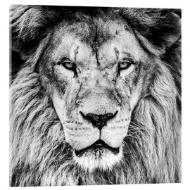 Acrylglas print  King Lion - black and white
