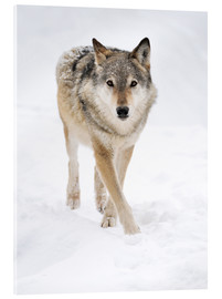 Acrylglas print  Gray Wolf in Snow