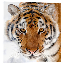 Acrylglas print  Siberian tiger in the snow