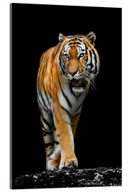 Acrylglas print  Male tiger