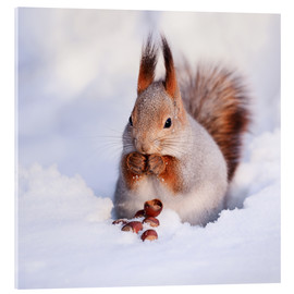 Acrylglas print  Squirrel in the snow