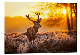 Acrylglas print  Red Deer in Morning Sun