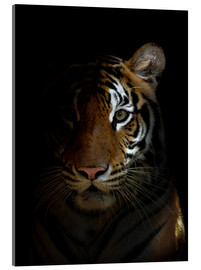 Acrylglas print  bengal tiger head in the dark night