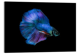 Acrylglas print  Blue Betta