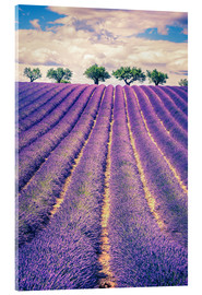 Acrylglas print  Lavender field with trees in Provence, France