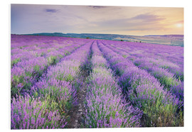 PVC print  Lavender Meadow at sunset