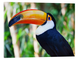 Acrylglas print  Giant toucan in Brazil