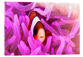Acrylglas print  Anemonefish amongst tentacles - Ethan Daniels