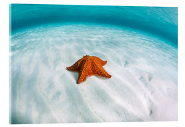Acrylglas print  A West Indian starfish on the seafloor in Turneffe Atoll, Belize. - Ethan Daniels