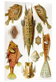 Acrylglas print  Ostraciontes cowfish species - Ernst Haeckel