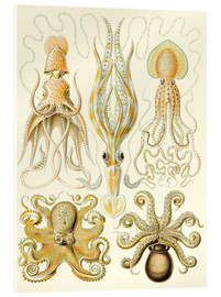 Acrylglas print  Squid and octopi - Ernst Haeckel