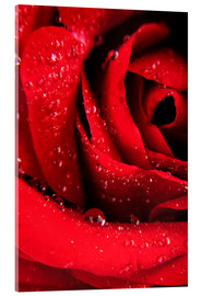 Acrylglas print  Red rose with water drops