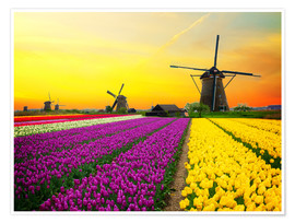Premium poster Dutch windmills and fields of tulips