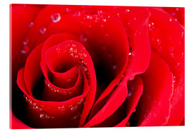 Acrylglas print  Red rose bloom with dew drops
