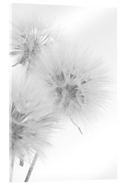 Acrylglas print  Fluffy dandelions on white background