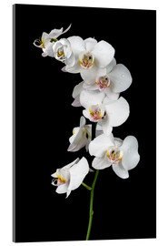 Acrylglas print  White orchid on a black background