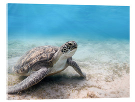 Acrylglas print  Green sea turtle