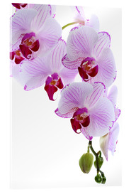 Acrylglas print  Orchid branch