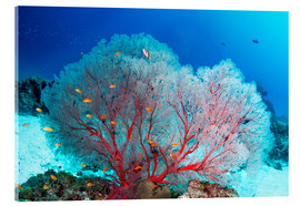 Acrylglas print  Melithaea sea fan and lyretail anthias