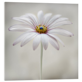 Acrylglas print  Cape daisy - Mandy Disher
