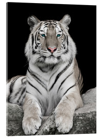 Acrylglas print  Handsome tiger with color accents