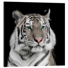 Acrylglas print  Sumatran tiger with turquoise eyes
