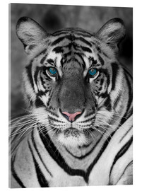 Acrylglas print  Tiger portrait with color accents