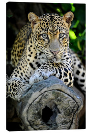 Canvas print  African Leopard
