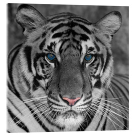 Acrylglas print  Tiger with color accents