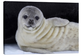 Canvas print  Weddell seal pup