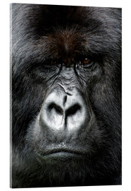 Acrylglas print  Silverback gorilla looking intensely, in the Volcanoes National Park, Rwanda, Africa - Matt Frost